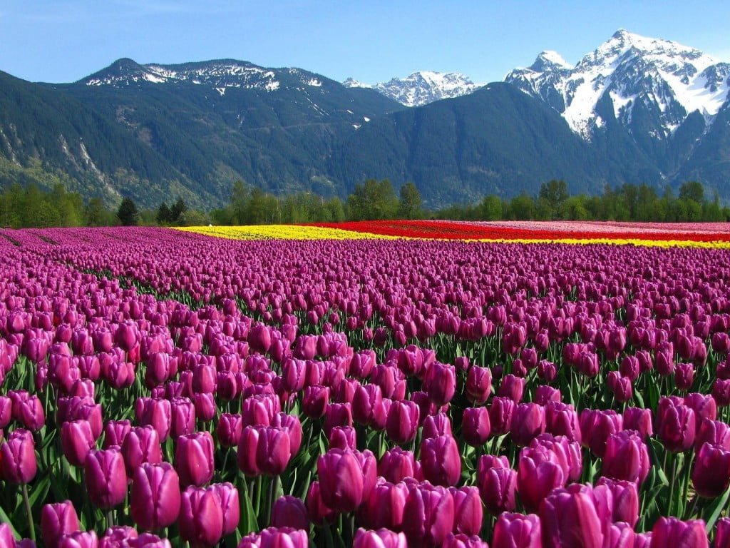tulips-field-mountain-netherlands-flowers-nature-768x1024