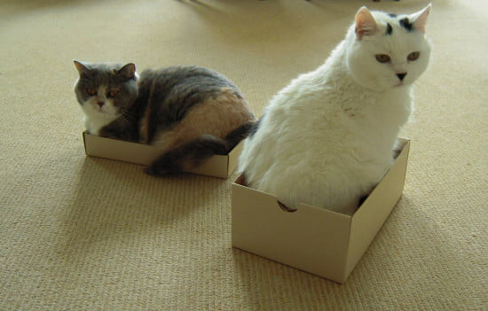 Each-cat-needs-its-own-shoebox-63-most-beautiful-cat-pictures-550x351